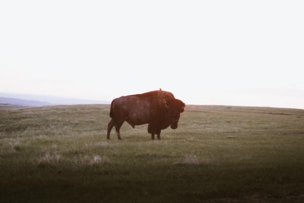 Bison Badlands National Park